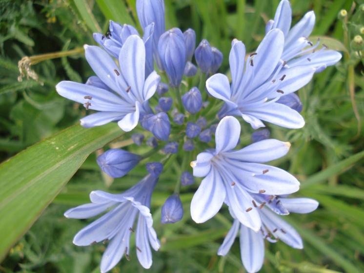 Como los colores del cielo, hay azules y blancos, en una hermosa clase de flor.