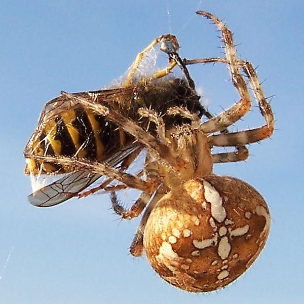 Muchas clases de araña son beneficiosas en el control de insectos y no tienen enfermedades.