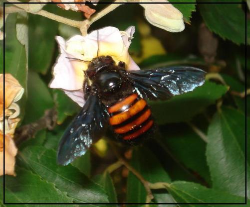 El abejorro, desestimado, temido, llevando laboriosamente su carga de flor en flor, asegura la biodiversidad que la naturaleza necesita, ¿Quién querría lastimarlo, cazarlo o fumigar?