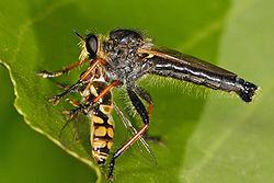 Libélula posada comiendo una gran mosca.