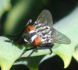 Hay muchísimas variedades de moscas, de diferentes tamaños, algunas verdaderamente hermosas.
