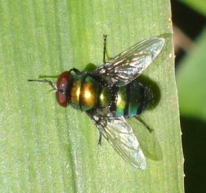 Las alas transparentes son hermosas y efectivas. Las nervaduras anteriores y las internas les dan la turgencia que precisa la mosca para volar.