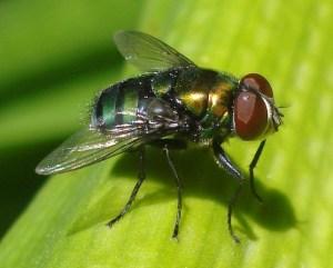 Pelos en el abdomen, en las patas, brillos en el cuerpo, los ojos, alas, detalles de la estructura espectacular de la mosca.