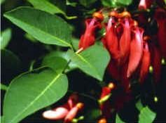 El verde especial de sus hojas, el brillo, los troncos con formas extrañas, esas flores tan especiales, rojas.