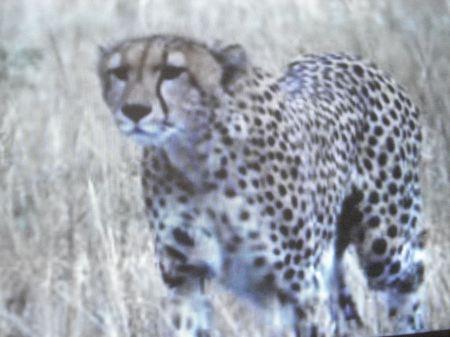 El Cheetah, alerta temprana, comida asegurada, una corrida feroz.