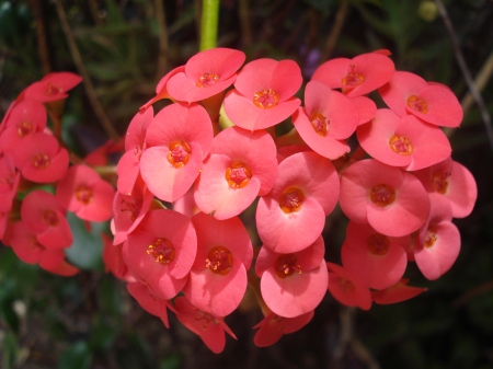 Racimo de flores rojas.