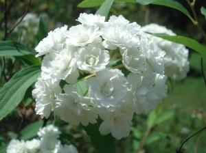 Racimo de flores blancas de una mata en la Facultad de Agronomía de la UBA, durante el recreo en un interesante curso de Turismo Rural.