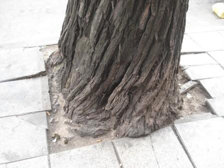 Prisión urbana de especímenes arbóreos adultos.
