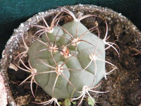 Menos espinas, más superficie expuesta al sol, más verde, diversas variedades para disfrutar.