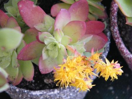 Las flores de las suculentas son durables, de colores vivos y atractivos.