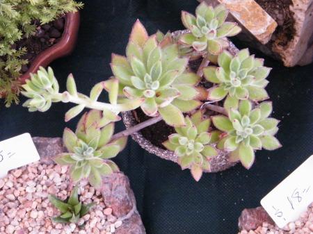 Hojas carnosas, crecimiento menos lento, pueden florecer.