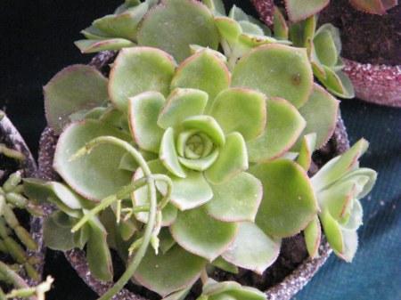 *Hojas de inserción espiral. Brotes laterales. Semejan flores, pero las flores son mejores aun y coloridas.