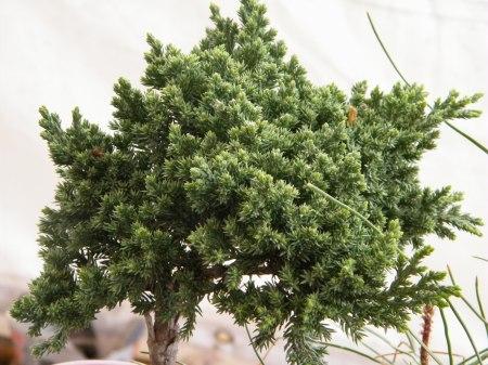 El Bonsai es una planta sufrida, como las que crecen en intersticios de las laderas verticales de las montañas  rocosas, con escasez de agua y de espacio para desarrollar sus raices, no alcanzan desarrollos como las plantas que tienen nutrientes y agua en libre disponibilidad.