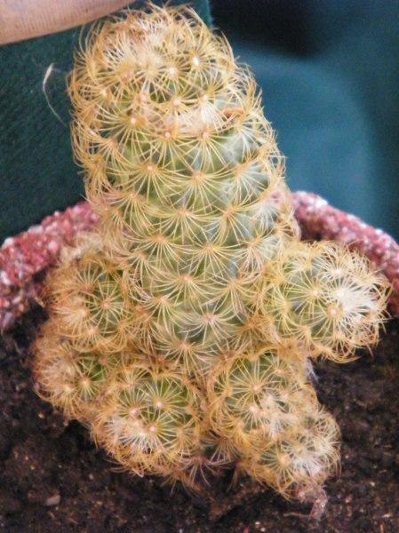 Atractivos cactus espinosos parte de la colección del vivero.