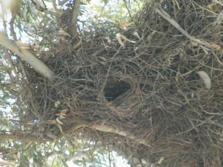 Los nidos de cotorras abundan en la zona. Elijen árboles eucaliptus para anidar.