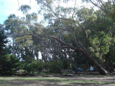 Respetando los árboles como adorno en parques y jardines. El árbol inclinado.