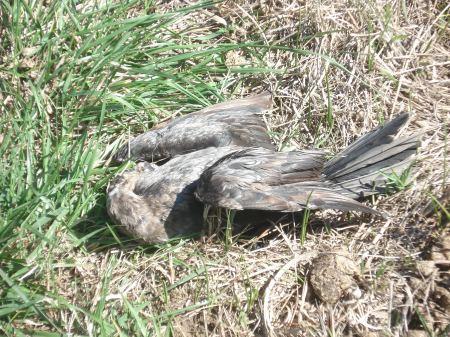 Aves ¿muertas por la gomera certera de criaturas irresponsables, no controladas, o por beber agua con contaminación, no controlada?