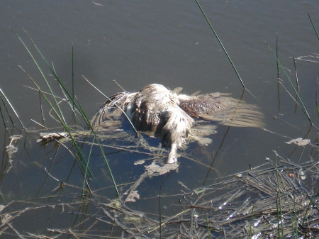 Aves muertas. Son acosadas por pibes con gomeras y aguas con contaminación.