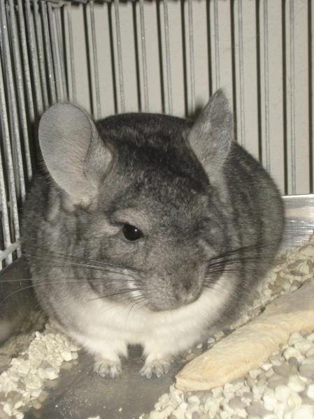 Chinchilla lanígera gris de criadero: lomo oscuro, degradée y vientre blanco.