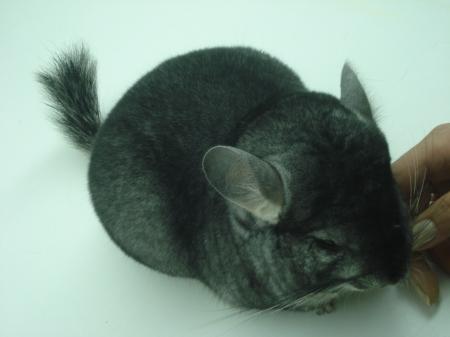 Animal joven, aun gazapo, gris bien oscuro, lo que le da más valor.