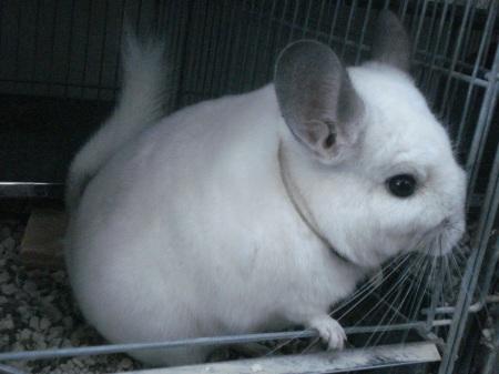 Rara Chinchilla blanca de orejas grises de la línea Wilson. Excelentes para mascotas especiales, para magos y adornos atractivos.