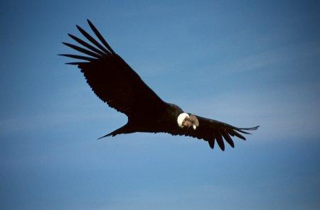 El majestuoso vuelo del CÓNDOR, símbolo de la libertad e independencia aun en gestación en América Latina.