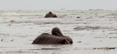 Cantidad de pelícanos, tortugas y delfines muertos son fiel testimonio de la desgracia ambiental.