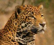 Felinos, otra de las maravillas de la naturaleza en extinción.