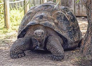 Tortuga gigante.