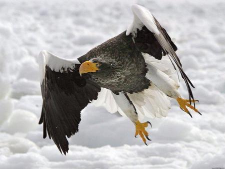 Un águila levanta vuelo desde su sitio preferido de vigilancia en la nieve al ver una presa a la distancia, intentando silencios y tácticas que no la delaten.