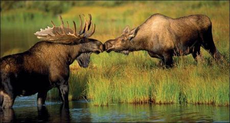 Envío un beso tímido a mis amigas, como el del alce, que no se anima a sacar las patas del agua con lodo para acercarse más....