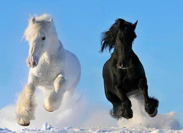 Caballos blanco y negro corriendo