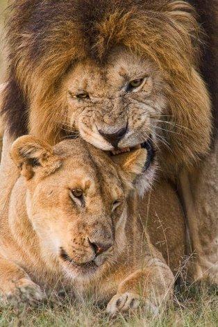 León mordiendo suavemente