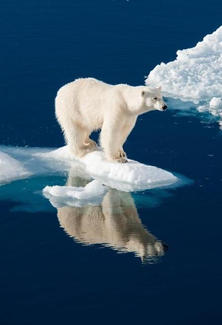 El oso polar tiene su hábitat restringido a zonas con hielo, por naturaleza. Acosado por el cambio climático que, producido en parte por el hombre, disminuye su superficie utilizable de hielos, y por la contaminación que mata, junto con la caza abusiva de focas, y la pesca exagerada que limita sus posibilidades de alimentarse, así como de sus presas potenciales de sobrevivir y multiplicarse, interrumpen la cadena natural de crecimiento de las especies y sus predadores naturales.