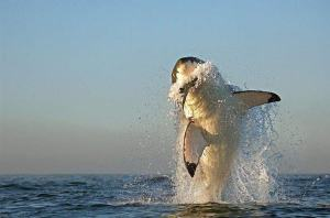 Tiburón caza foca II