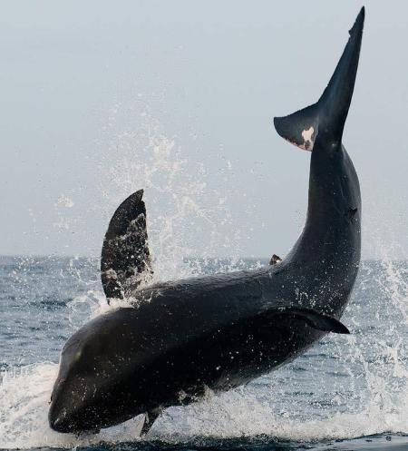 Tiburón cazando 3