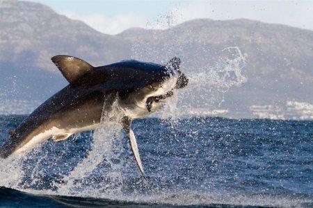 Cazadores marítimos en su tarea predadora, en fotos de internet.