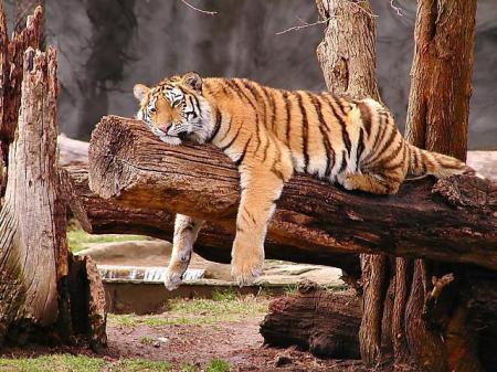 Tigre duerme como el tronco