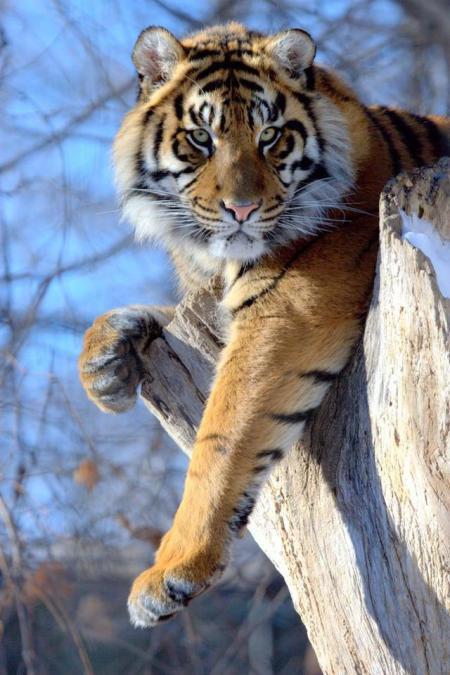 Tigre en tronco