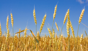 Wheat before harvest (yield's field).