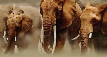 Elefantes con colmillos largos