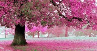 Flores cayendo manto rosado