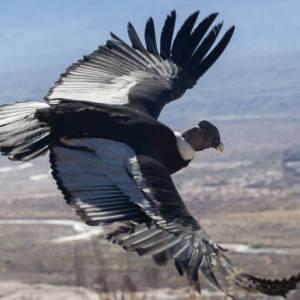 Ave a vuelo de pájaro cóndor