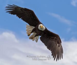 Águila abierta