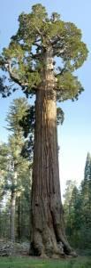 Árbol gigante 45