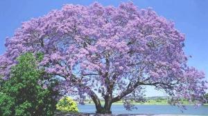 árbol kiri