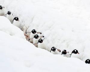 Camino al andar pinguins