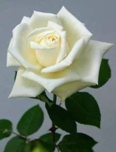 Cultivo una rosa blanca.