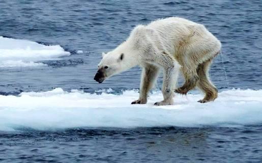 Oso polar famélico
