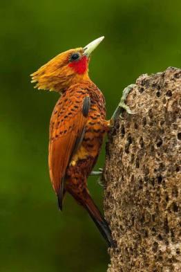 AVE Pájaro carpintero 3